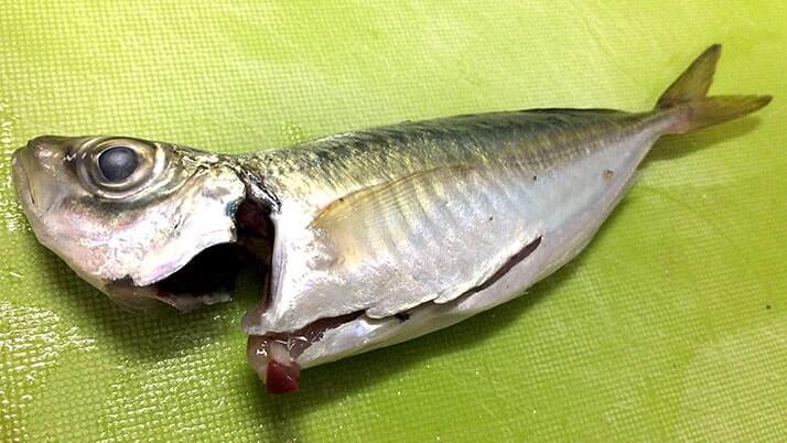 釣ったアジとウルメイワシをフライに!釣った魚で絶品釣りメシ!