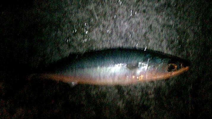 神津島港夜釣りでサバ入れ食い!夕食はサバ干物カレー!|神津島釣りキャンプ