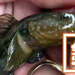 穴釣りポイント!千葉内房の堤防釣りでメバルにクジメちゃん