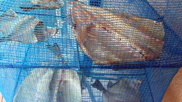 釣りでもらったアイゴと石鯛の干物!炭火で焼いて食せば旨い!
