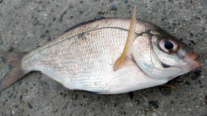 グレ(メジナ)とムラソイで満足釣果!千葉内房堤防五目釣り