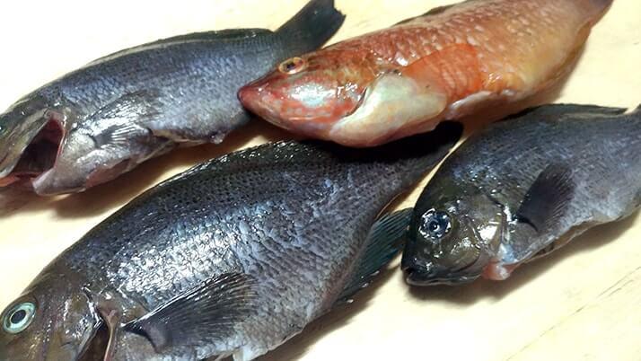 【釣りメシ】グレとベラのバター醤油ムニエルでお手軽一品