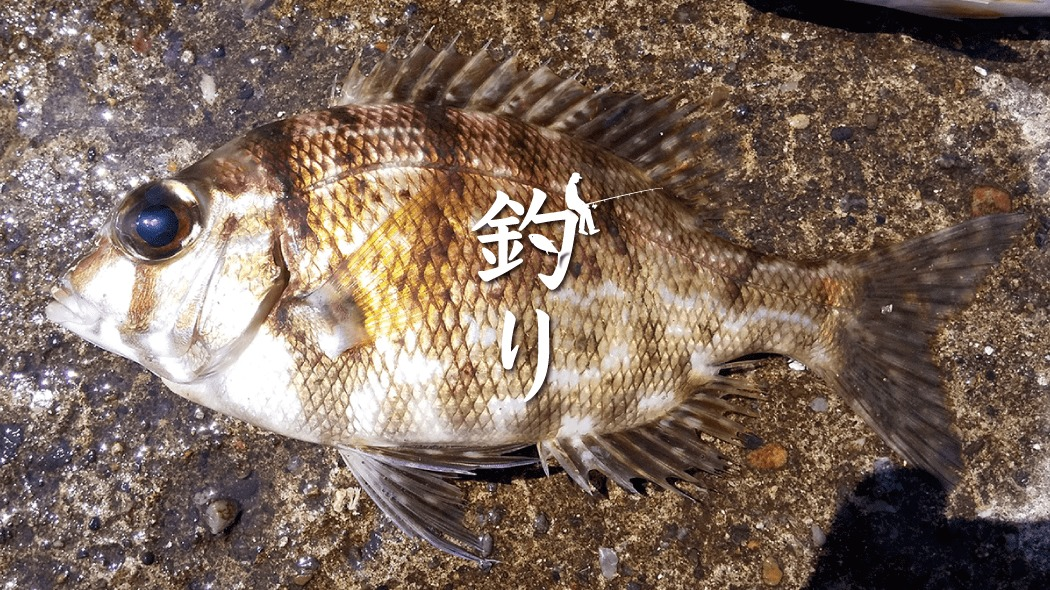 夏釣りでメイチダイ!千葉館山堤防でアイゴ・サバの合間に釣れた高級魚