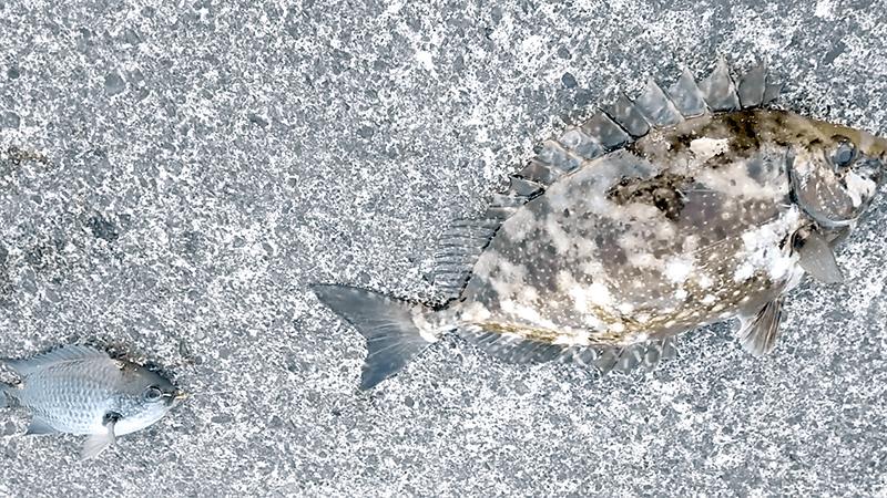 新島釣りキャンプ|アカハタ・イシガキダイ…五目釣り【DAY1 後編】