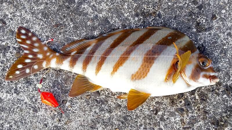 五目釣りで定番のイシダイ・イシガキダイ・タカノハダイ…|新島釣りキャンプ【DAY3 前編】