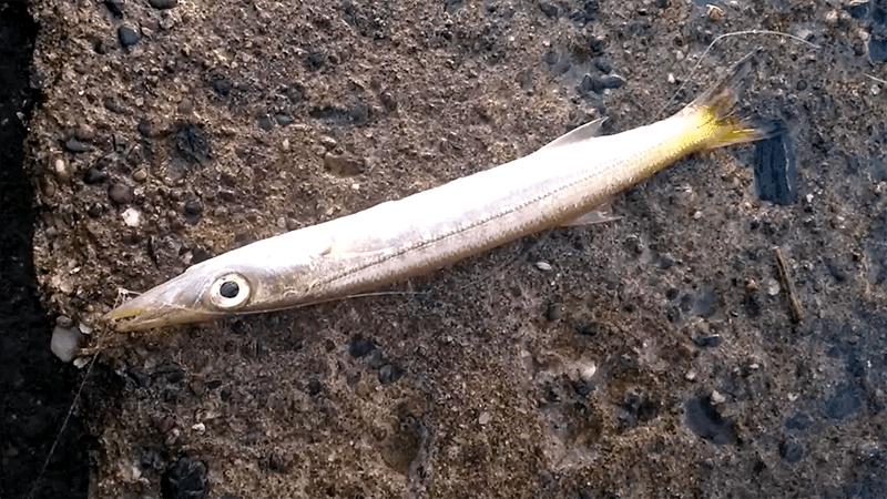 千葉堤防釣り!秋の夜釣りで90cm超ホタテウミヘビ…朝はアジ・カマスetc