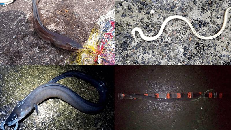 アナゴ釣りの外道ホタテウミヘビ…見分け方は?マアナゴとクロアナゴの違いも