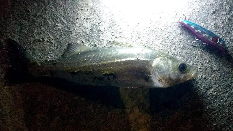 冬の中川シーバスデイゲーム!釣れるもセイゴサイズ…夜はエイ到来