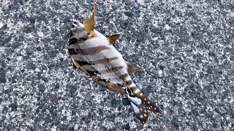 サーフ・堤防釣りも強風で釣りにならず…タカノハダイ鍋で夕食|新島釣りキャンプ第二弾【DAY2】