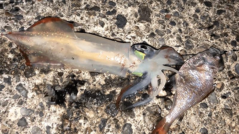 ネコザメが釣れた!!泳がせ釣りでイカとまさかの大物ヒット(笑)|新島釣りキャンプ第二弾【DAY6 後半】
