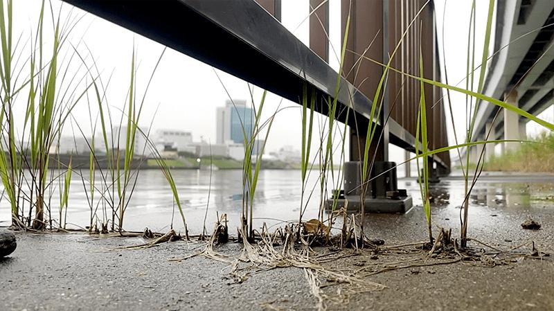 東京都市河川でウナギ釣り!梅雨の身近な川でニョロっとウナギを釣る