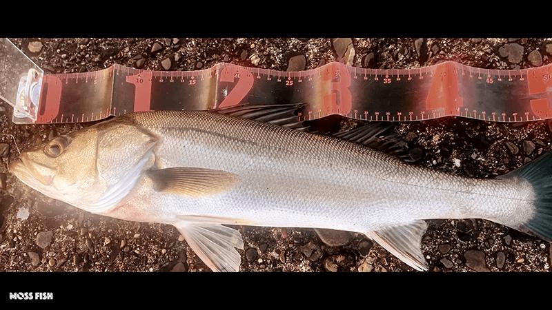 シーバスを泳がせ釣りで釣る!木更津沖堤防でアジを釣って大物狙い