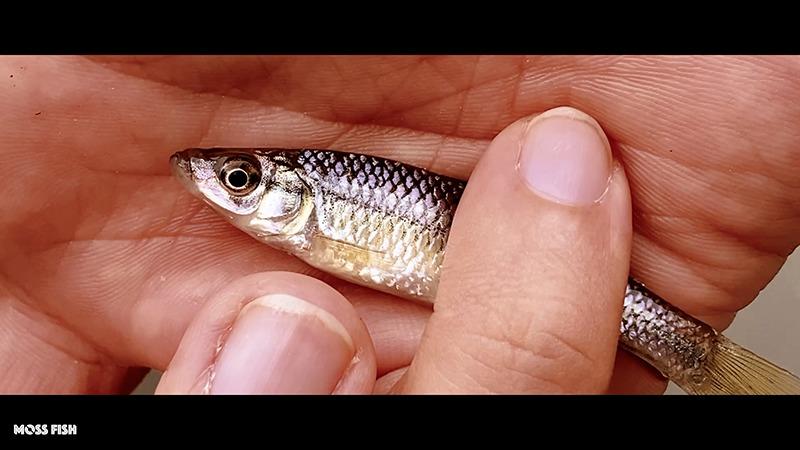 初冬の小物釣り!タナゴ仕掛けで釣るクチボソin水元公園