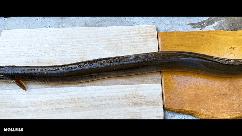 真冬のウナギ釣りでぶっとい鰻を釣る!脂がのった絶品うな重に