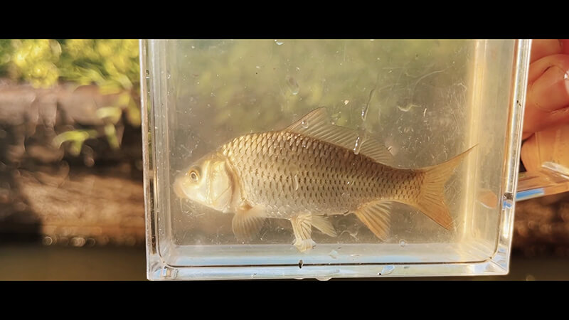 小鮒が釣りたい!タナゴ仕掛けを使い田んぼのホソで小物五目釣り