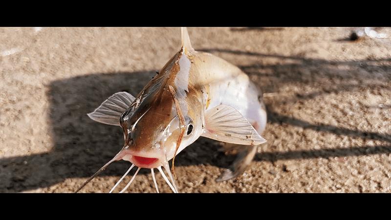 アメリカナマズを釣って「アメナマ丼」にしたら絶品|移住後初めて友人家族が遊びに来てくれた