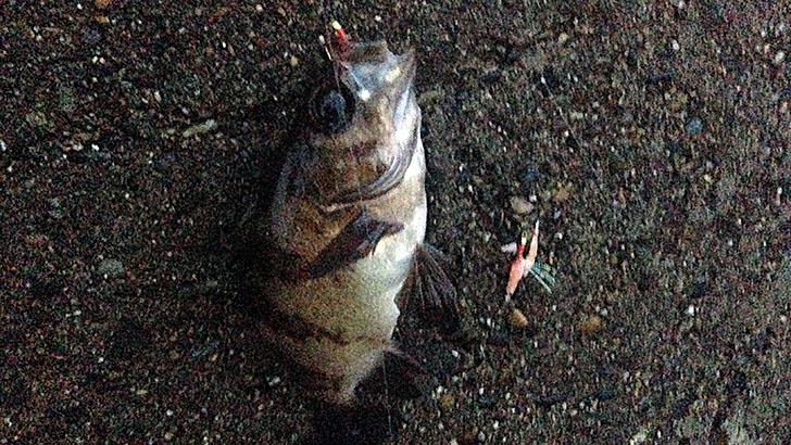 千葉県内房で穴釣り!メバル・カサゴにギンポにベラちゃん